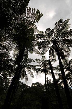Silhouette of Tall Silver-Fern Plants