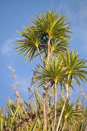 Cabbage trees with bright green leaves
