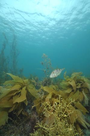 Leatherjacket Parika scaber among brown kelp and seaweeds.