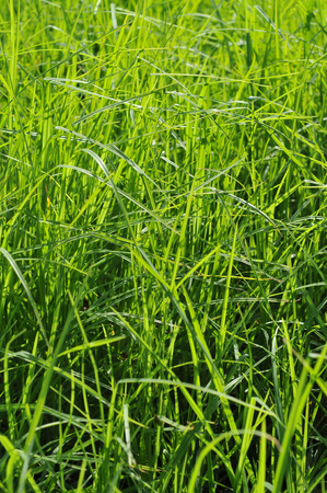 criss: Horizontal lines in grass created by wind