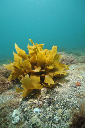 Frond of brown stalked kelp Ecklonia radiata on flat bottom.