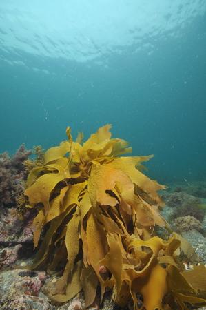 radiata: Frond of brown stalked kelp Ecklonia radiata on rocky bottom.