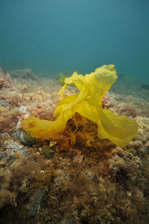 Piece of translucent brown-yellow kelp on flat bottom covered with short brown and red algae. Stock Photo