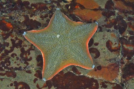 echinoderm: Cushion sea star Patiriella regularis on rock partially covered with rusty-brown algae. Stock Photo
