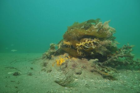 Kelp fronds bent in current above flat silty bottom.