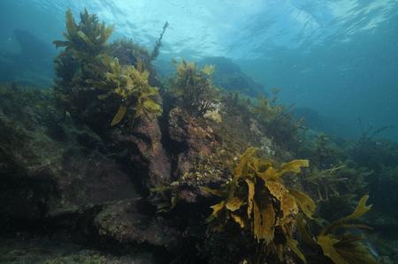 underwater ocean: Rocky reef with some brown stalked kelp Ecklonia radiata growing on its walls.