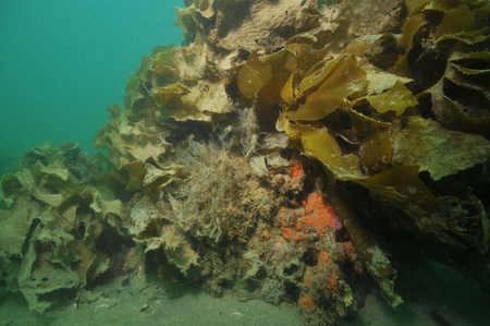 silty: Hydroids growing on rock mostly covered with kelp and all-present sediment. Stock Photo