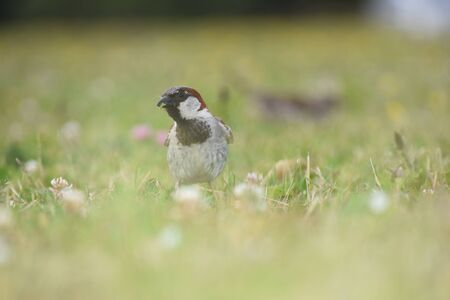 domesticus: Male house sparrow Passer domesticus in grass.