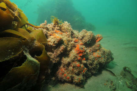 sediment: Red sponges growing on rock protruding from flat bottom struggling with sediment.