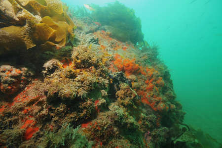 sediment: Colourful wall covered with sponges and other invertebrate life forms struggling under layers of sediment.