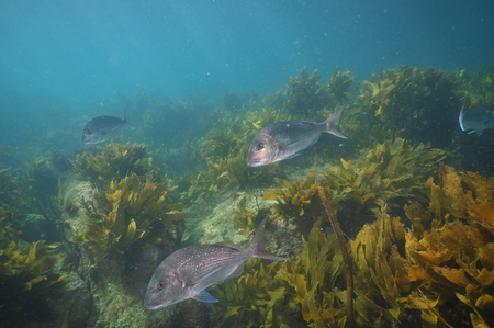 australasian: Group of adult australasian snapper Pagrus auratus swimming among scarce brown kelp.