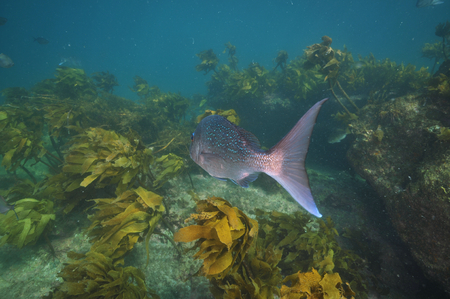 australasian: Big australasian snapper Pagrus auratus leaving camera towards rugged rocky reef covered with brown kelp Ecklonia radiata. Stock Photo