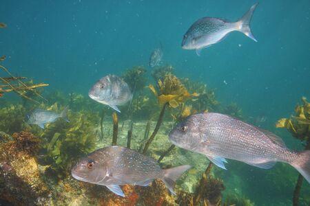 Group of adult australasian snapper Pagrus auratus swimming among scarce brown kelp.