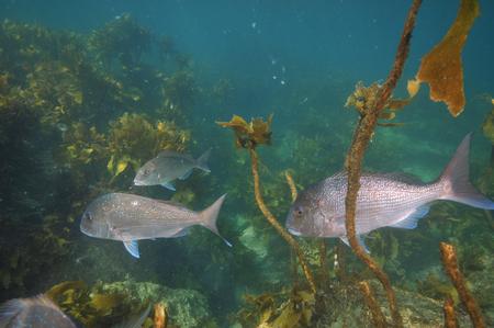 auratus: Group of adult australasian snapper Pagrus auratus swimming among scarce brown kelp.