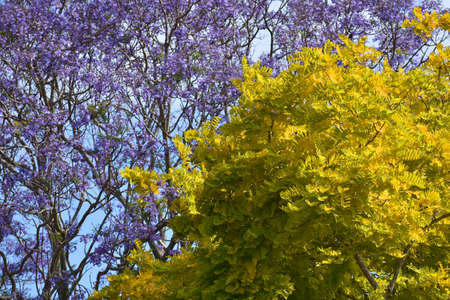 contrasty: Treetops of two trees with contrasty leaves of light green and purple colours.