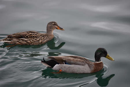 gamebird: Female and male Mallard ducks swimming in calm water. Stock Photo