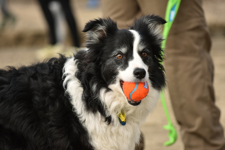 inviting: Dog bringing orange ball in its mouth inviting to throw it again. Stock Photo