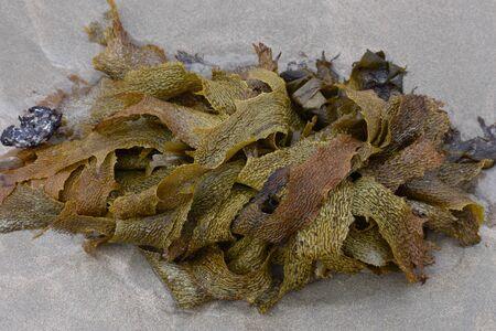 alga marina: Las frondas de algas marrones acechaban en descomposición en la arena de playa.