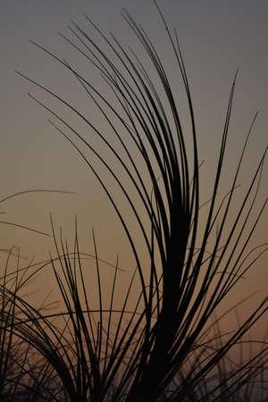 weak: Silhouette of sand dunes weeds in weak light at dusk.