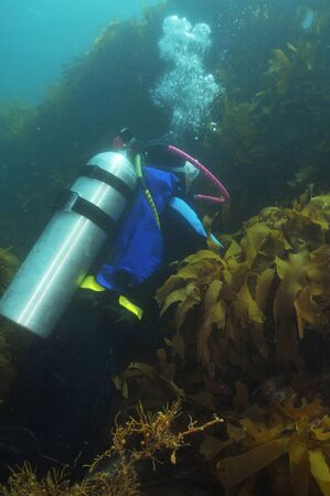 wetsuit: Scuba diver in wetsuit with aluminium tank at steep kelp covered wall in southern Pacific ocean.