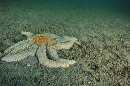 echinoderm: Prickly eleven-armed sea star Coscinasterias calamaria on flat muddy bottom. Stock Photo