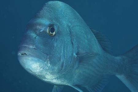 Closeup portrait of australasian snapper Pagrus auratus