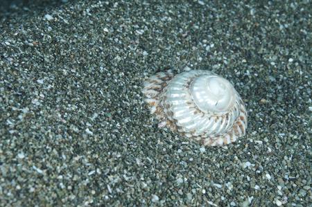 sulcata: Cooks turban shell Cookia sulcata half buried in coarse sand. Stock Photo