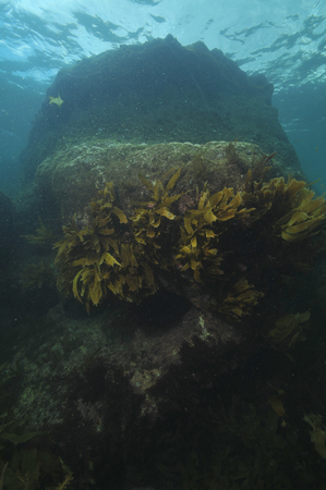 Large submerged rock with vertical walls partially covered with kelp reaching to ocean surface. Stock Photo