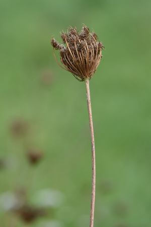 Dried flower cluster on long stem on soft green blurry background.