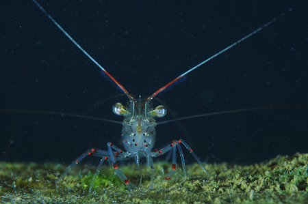 Common (glass) shrimp Palaemon affinis facing camera lens from submerged piece of timber covered with short algae.