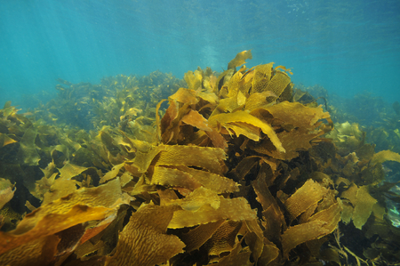 Large fronds of brown stalked kelp Ecklonia radiata moving with swell right under sea surface.