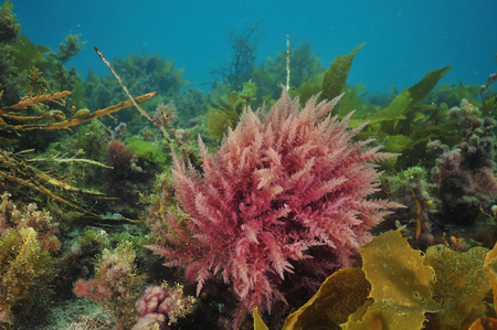 Bright colours of various sea weeds (algae) under surface of temperate southern Pacific ocean. Stock Photo
