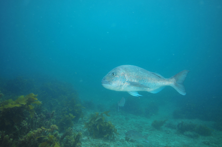 commercial fisheries: Adult australasian snapper Pagrus auratus cruising above flat bottom partially covered with kelp growth.