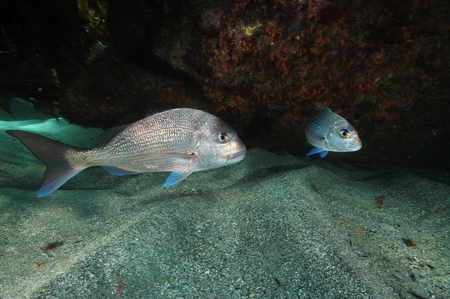overhang: Two australasian snappers Pagrus auratus  above flat sandy bottom next to rocky overhang covered with encrusting invertebrate life hiding in shadow. Stock Photo