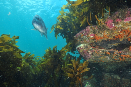 Australasian snapper Pagrus auratus swimming in open water above kelp covered rocky reef close to sea surface.