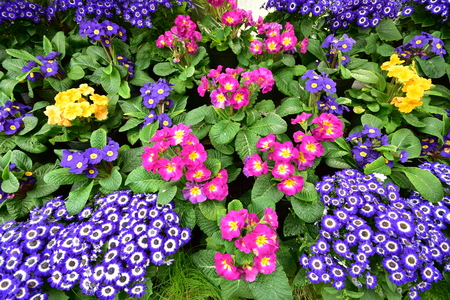 Dense carpet of flowers with vivid colors. Stock Photo