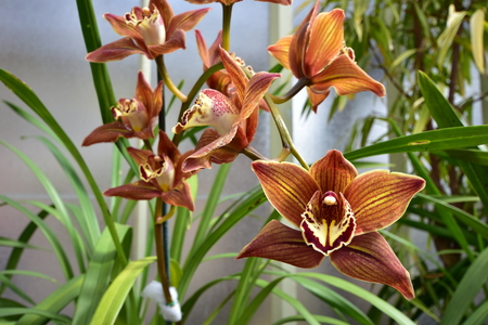 Exotic brown orchid blooms against blurry background. Stock Photo