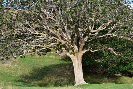 Native New Zealand tree with slightly curly dense branches and smooth light color bark. Stock Photo
