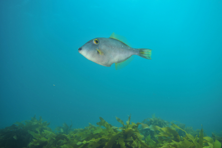 Leatherjacket Parika scaber hovering above kelp forest. Stock Photo
