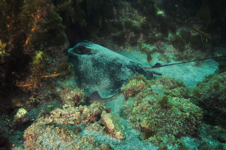 Eagle ray Myliobatis tenuicaudatus taking off from its resting place on sandy bottom among rocks.