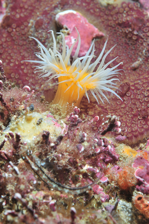 Open white-striped anemone Anthothoe albocincta among other encrusting life forms.