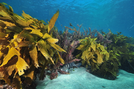 Kelp fronds forming low height but dense underwater forest where fish can hide.