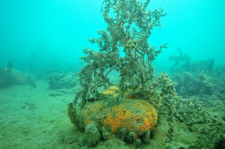 silty: Yellow-orange boring sponge Cliona celata partially covered with fine mud among under dusty seaweeds on bottom of Mahurangi Harbour.