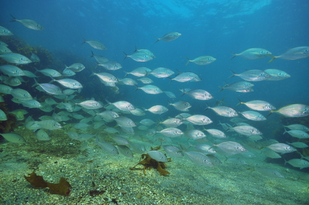 School of trevally Caranx georgianus above flat bottom of coarse sand.