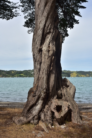 Trunk detail of twisted old conifer tree on sea shore. Stock Photo