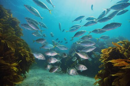 gill: School of New Zealand trevally Pseudocaranx dentex above sandy bottom with kelp forest of Ecklonia radiata around and in background.