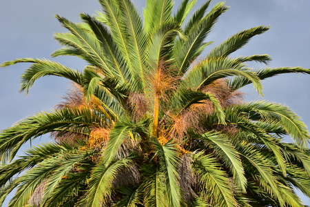 Large tree top with long stiff leaves of Phoenix palm.