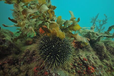 Sea urchin Evechinus chloroticus on rock covered with layer of sediment and some vegetation.