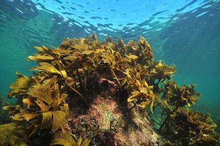 Brown stalked kelp Ecklonia radiata grows on rock close to sea surface.