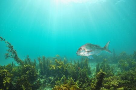 Australasian snapper Pagrus auratus swimming with mouth open above flat bottom covered with brown sea weeds. Stock Photo